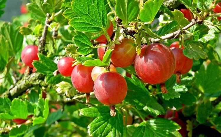 10 полезных свойств крыжовника: укрепляйте свой организм с помощью этой ягоды летом