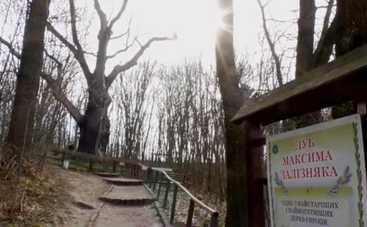 Утро с Интером: как спасают тысячелетний дуб Максима Железняка