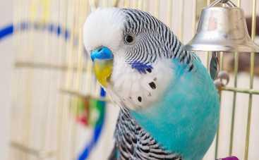 Волнистый попугай: говорит и рассказывает