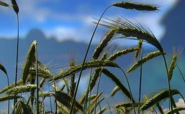 Масло зародышей пшеницы. Незаменимое средство для здоровья и красоты