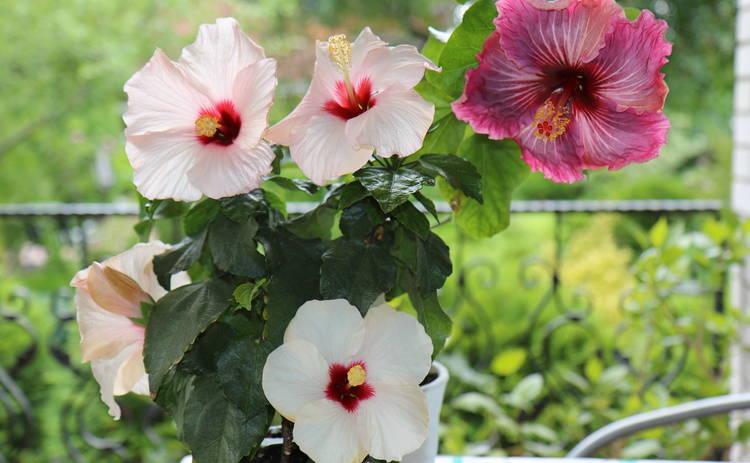 Гибискус: цветок, который построил город (фото)