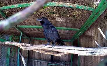 В Харькове появился говорящий ворон (видео)