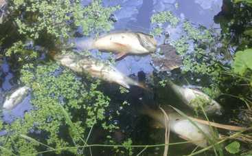 Река Остер стала черной. Из воды достают тонны мертвой рыбы (видео)