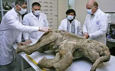 Ученые заявили о готовности клонировать мамонта