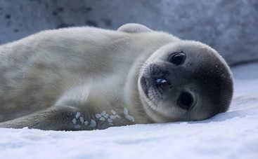 Ученые поняли причину массового самоубийства тюлленей