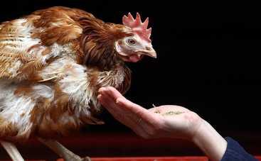 Курица удивила музыкальными талантами (видео)