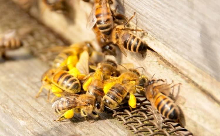 Первая помощь: что делать при укусе пчелы?