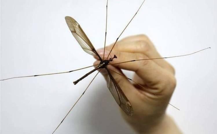 Пойман самый большой в мире комар