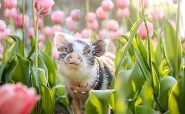 Розовый поросенок в тюльпанах покорил Сеть