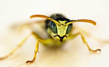 Ученые открыли новый вид осы, которая откладывает яйца в живых существ