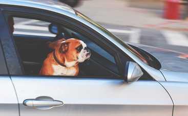 Самые смешные собаки в машине: 7 фото для отличного настроения