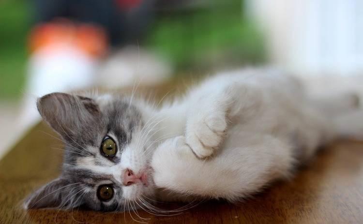 Тест: Кошачий язык, как хорошо вы в нем разбираетесь?