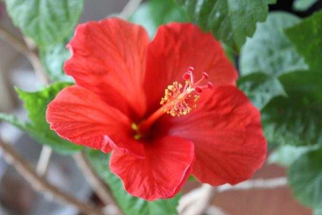 Гибискус: полезные свойства и вред 69